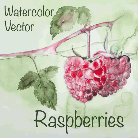 Vector illustration of watercolor raspberry, hand drawn in realistic styleのイラスト素材