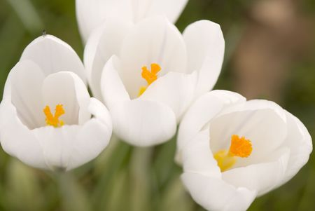 several white crocus