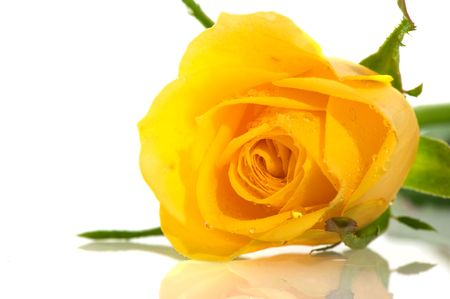 Single wet fresh yellow rose isolated over white