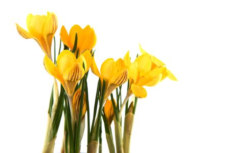 Yellow Crocus flowers in spring isolated over white