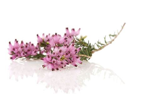Purple heather flowers with reflections on white background