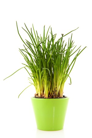 Fresh chives for kitchen use in reen flower pot