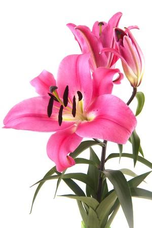 Foto für Pink Lily bouquet flowers isolated on white background - Lizenzfreies Bild