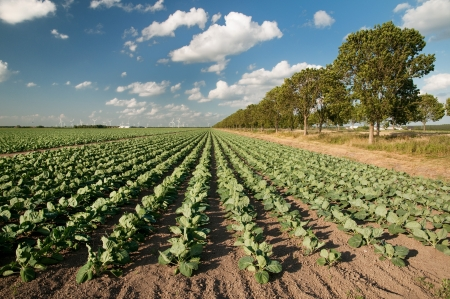 Photo pour Agriculture landscape with many cabbages in the fields - image libre de droit