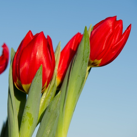 Red tulips in nature with blue sku