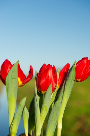 Red tulips in nature landscape