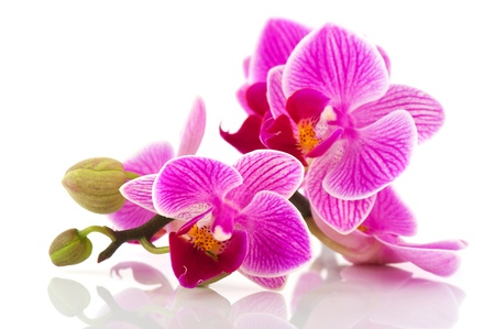 Tropical pink orchid isolated over white background