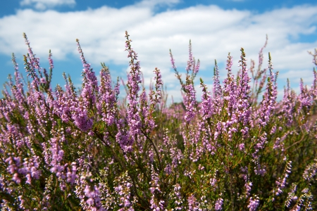 heather with purple flowers