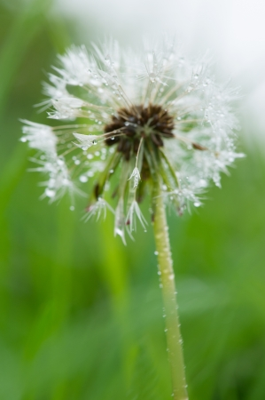 seed of the dandelion outdoor in nature