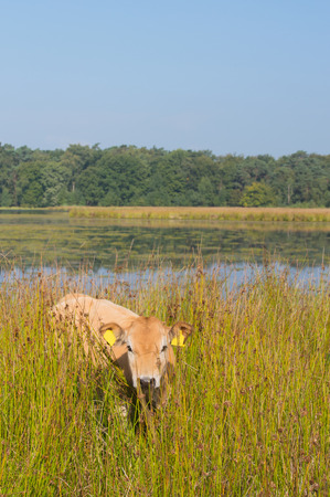 Piedmontese cattle cows drinking in nature lake