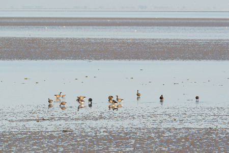 Group brent gooses wading in wadden sea