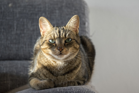 Domestic tiger cat lying on grey sofa, eye contact