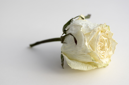 Dry white rose flower isolated on white background, single object on white paper, beautiful white beige petals, daylight
