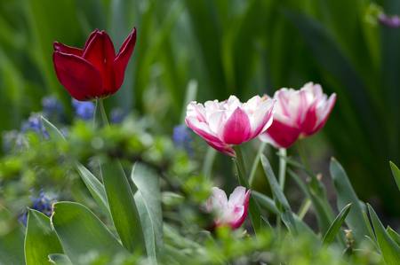 Colorful white and pink common tulips in the garden, colorful petals on green stems, beautiful springtime flowers in bloom, spring season garden