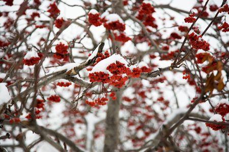 Ashberry under the snow, park in Novosibirsk, 22 october 2006