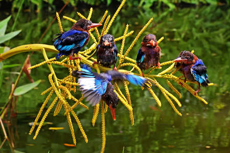 Photo for A group of Javan kingfisher (Halcyon cyanoventris) perched on a palm flower growing beside a pond. - Royalty Free Image