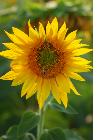 yellow sunflower field with a bee that pollinates the flower.Outdoor.