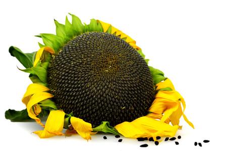 Ripe sunflower isolated on white background