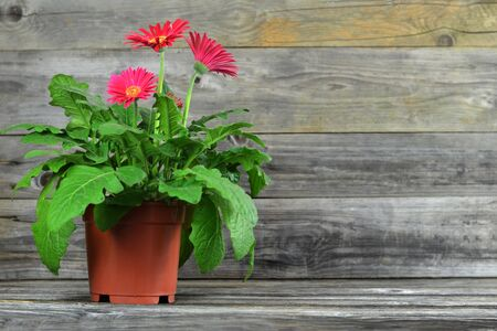 Photo for Gerbera daisy in pot on wooden background - Royalty Free Image