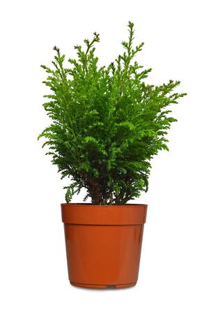 Photo for Miniature conifer in flowerpot isolated on white background - Royalty Free Image
