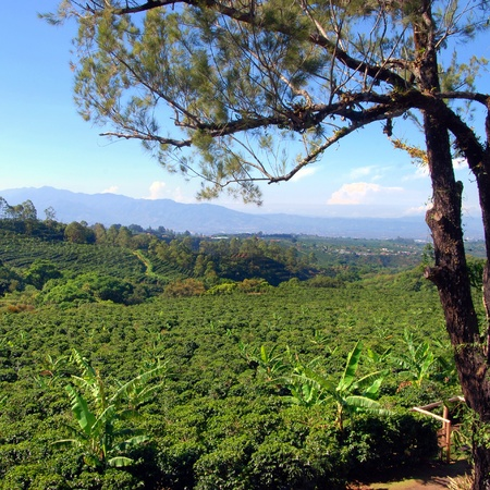 Coffee plantation in Costa Rica with a skyline with mountains in the background, tree in foreground