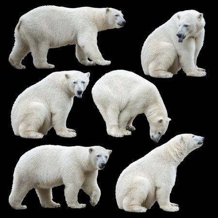 Polar bear isolated on black background