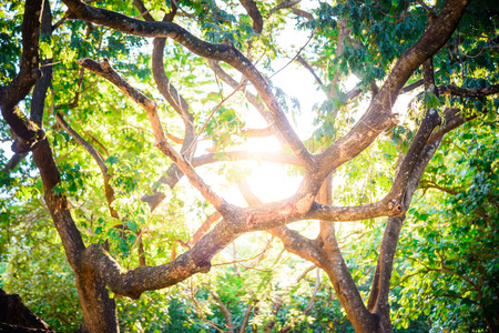 Photo for Sunshine through trees , sunlight in trees forest - Royalty Free Image