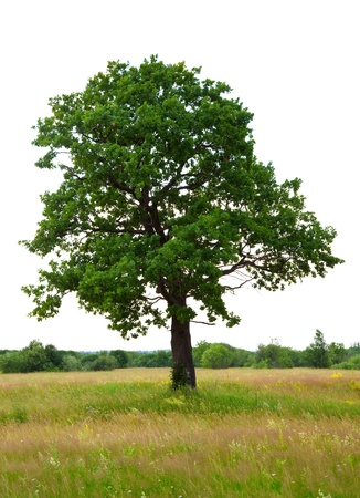 One oak tree on meadow, isolated over white background