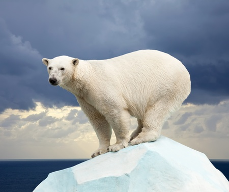 polar bear in wildness area against sea landscape