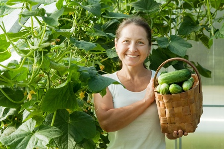 Smiling woman with harvested cucumbers in the hothouseの写真素材