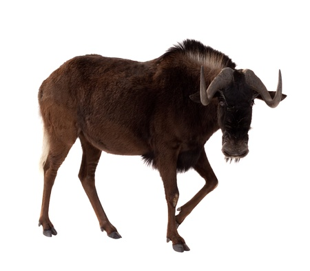 white-tailed gnu (Connochaetes gnou). Isolated over white background