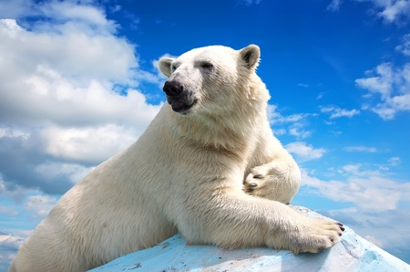 polar bear in wildness area against sky