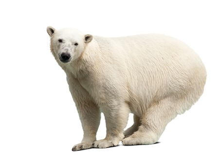 polar bear over white background with shadows