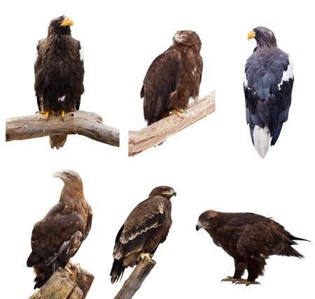 Set of eagles. Isolated over white background