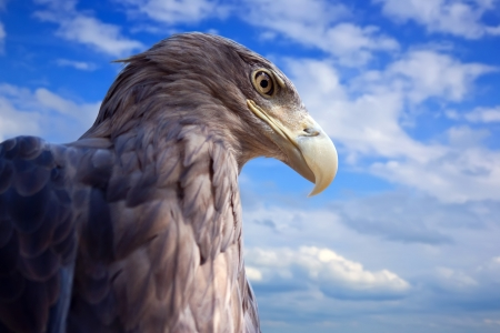 sea  eagle against blue sky