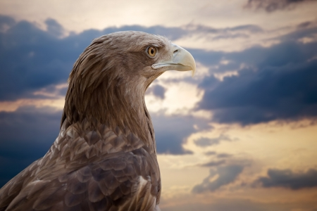Head of sea eagle against sunset sky