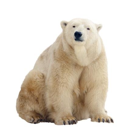 Sitting polar bear. Isolated over white background