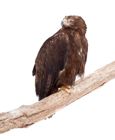 Tawny eagle (Aquila rapax).  Isolated over white background