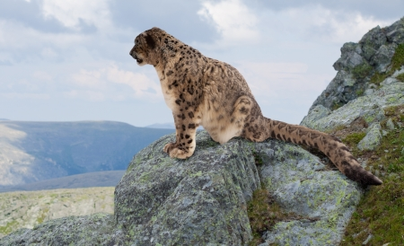 Snow leopard  on rocky at wildness area
