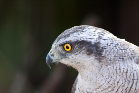 Head of Hawk goshawk (Accipiter gentiles)