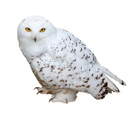 snowy Owl (Nyctea scandiaca). Isolated  over white background