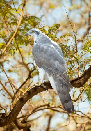 Goshawk on wood trunk in  forest