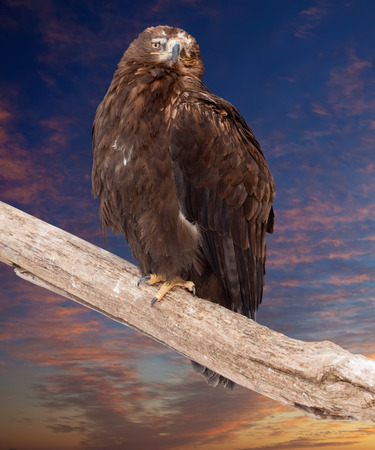 eagle sits on wood trunk against sunset sky