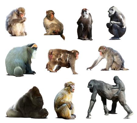 Set of many monkeys. Isolated over white background with shade