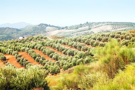 European autumn landscape with Olives plants