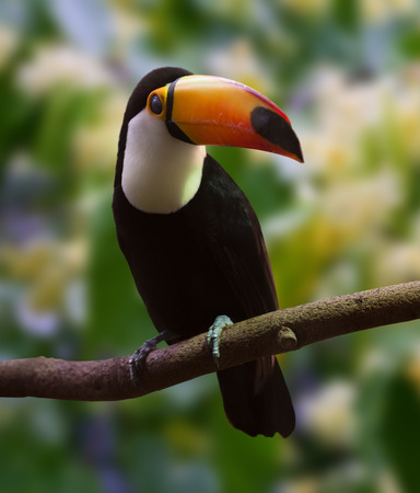 Toco Toucan  (Ramphastos toco) over nature background