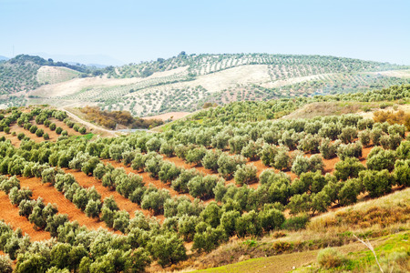 autumn landscape with Olives plant among hills