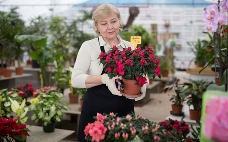 Photo for Woman gardener is taking care of flowers with secateur in orangery. - Royalty Free Image
