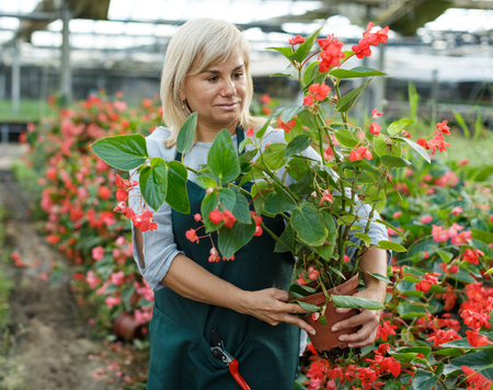 Photo for Mature woman florist in apron gardening red begonia plants in pots in greenhouse - Royalty Free Image