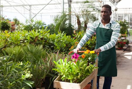 Photo for Successful African-American gardener working in greenhouse, pushing cart with blooming potted plants - Royalty Free Image